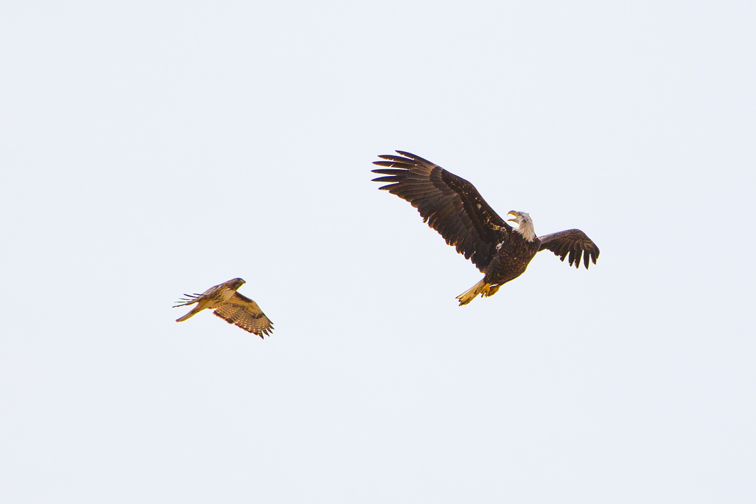 Bald Eagle fighting a Red-Tailed Hawk